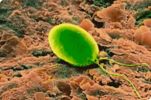 green alga Chlamydomonas
